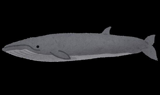 イワシクジラのイラスト